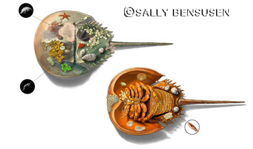 Horseshoe crabs by Sally Bensusen