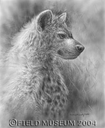 Young Spotted Hyena by Marlene Hill Donnelly
