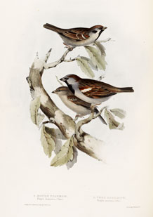 Sparrows by Elizabeth Gould