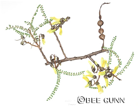 Sophora       microphylla by Bee Gunn