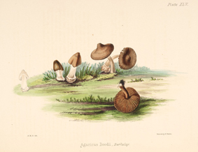 Agaricus reedii by Anna Maria Hussey