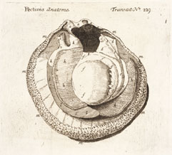 Anatomy of a scallop engraved by Susanna Lister
