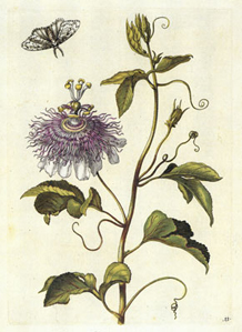 plate from New Book of Flowers by Maria Sibylla Merian