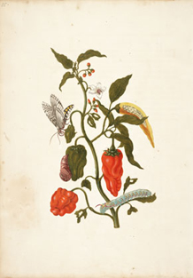 Red Pepper, Moth, Larva, and Pupa by Maria Sibylla Merian