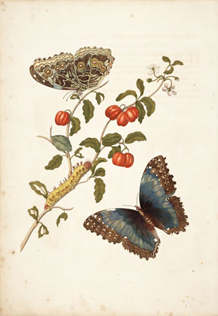 Trinidad Cherry, Butterfly, and Larvae by Maria Sibylla Merian